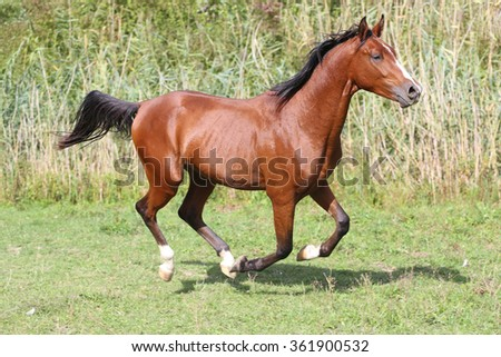 Arabian breed horse galloping on pasture against green reed background - stock photo