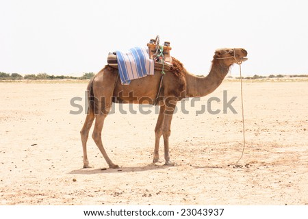 arabian camel - stock photo