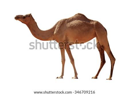 Arabian Camel isolated on white background - stock photo