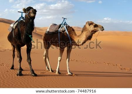 Arabian camels or Dromedaries (Camelus dromedarius) in the Sahara Desert, Morocco. - stock photo