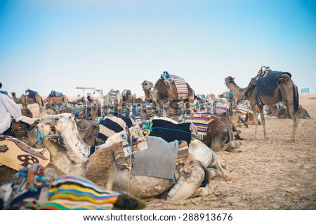 Arabian camels or Dromedary also called a one-humped camel in the Sahara Desert, Tunisia - stock photo