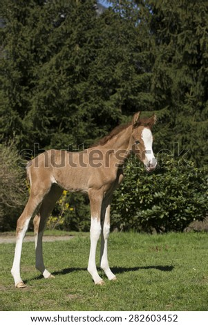 Arabian Chestnut Foal On His First Steps