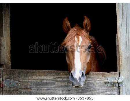 Arabian colt in stall - stock photo