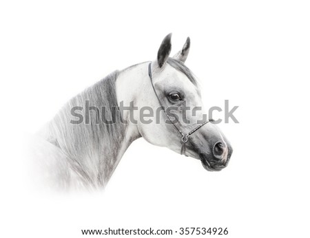 arabian dapple gray horse isolated over a white