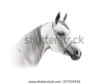 arabian dapple gray horse isolated over a white - stock photo
