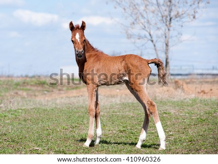 arabian foal in spring time standing in the field - stock photo