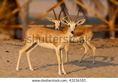 Arabian Gazelle in Abu Dhabi - stock photo