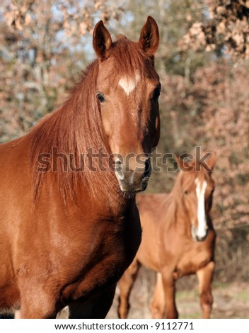 Arabian gelding with young colt in background. - stock photo
