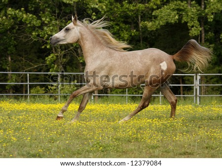 Arabian Grey colt running in field with yellow flowers - stock photo