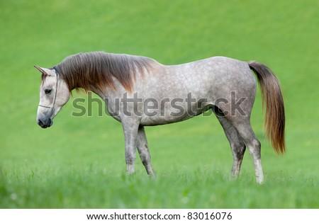 Arabian grey horse in field - stock photo