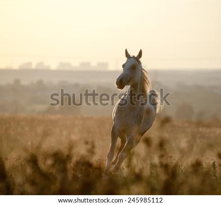 Arabian horse in sunset - stock photo