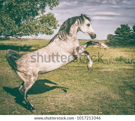 Arabian horse is rising on summer nature background