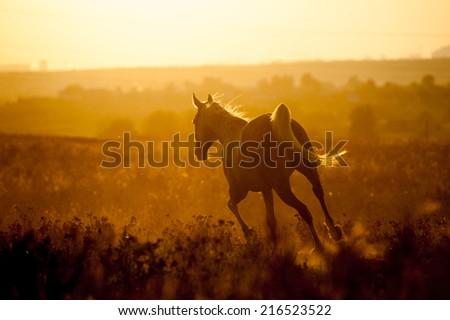 arabian horse on sunset - stock photo