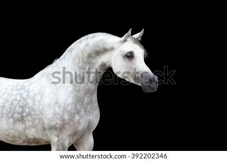 Arabian horse portrait isolated on black background - stock photo