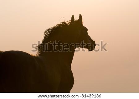 Arabian horse silhouette on the golden sky background - stock photo