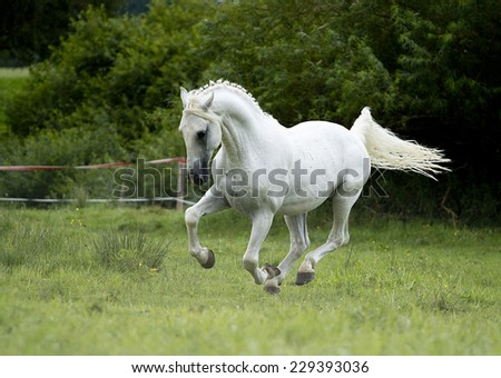 arabian horse stallion running in nature - stock photo