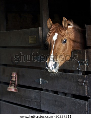 Arabian horse waiting to get out of stall - stock photo