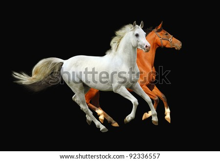 arabian horses - stock photo