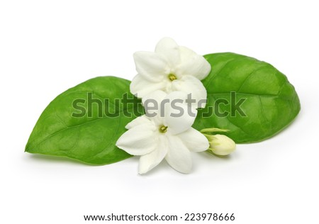 arabian jasmine, jasminum sambac, flower and leaves, jasmine tea flower isolated on white background - stock photo