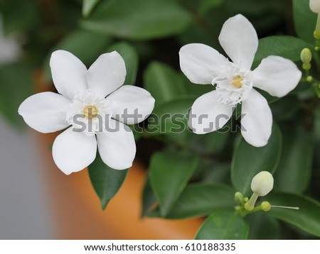 Arabian jasmine white angel flower coral stock photo 100 legal arabian jasmine white angel flower coral swirl beautiful white little flower mightylinksfo