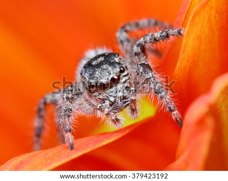 Arabian jumping spider close up with the orange flower background - stock photo