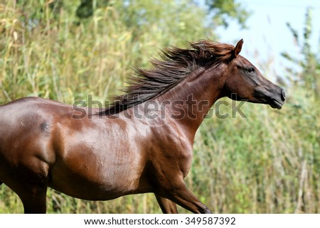 Arabian mare galloping  in a meadow summertime - stock photo