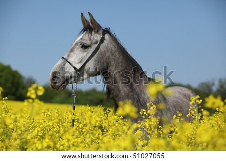 Arabian mare in the colza field