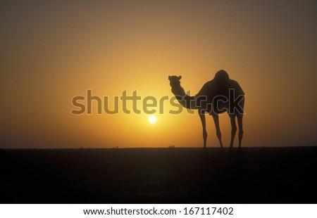 Arabian or Dromedary camel, Camelus dromedarius, single mammal against sunset, Oman - stock photo