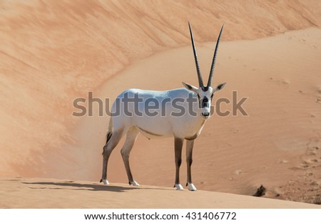 Arabian oryx in a desert near Dubai, UAE