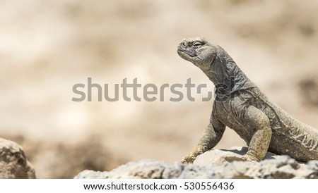Arabian spiny tailed Lizard on a rock in deserted oilfield of Bahrain