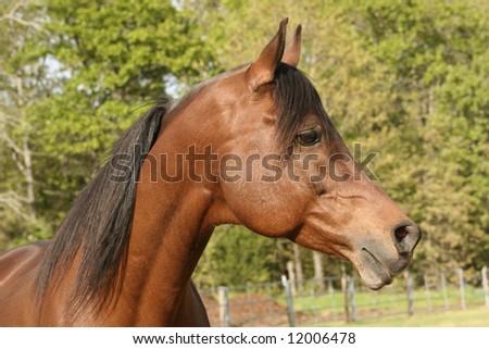 Arabian stallion porfile - stock photo