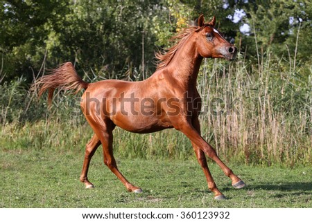 Arabian stallion runs gallop across summer meadow