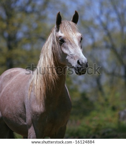 Arabian two year old grey colt - stock photo