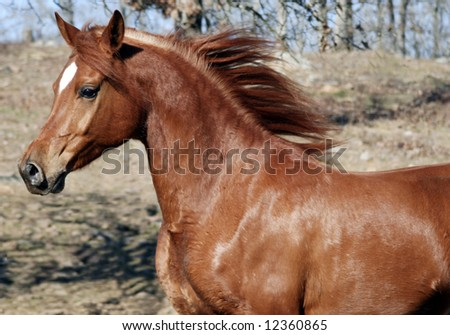 Arabian with flowing mane - stock photo
