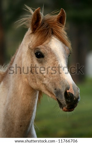 Arabian Yearling Filly