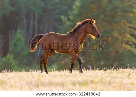 Arabian young foal running free. - stock photo