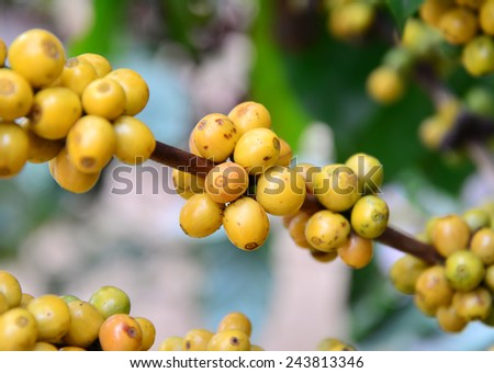 Arabica coffee beans color yellow ripening on tree  - stock photo