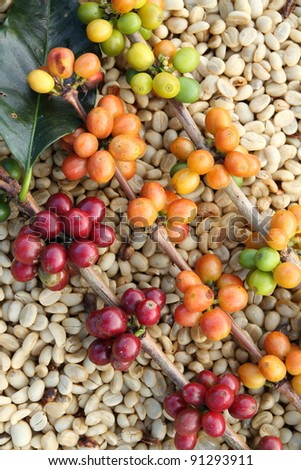 arabica coffee beans on shell beans background - stock photo