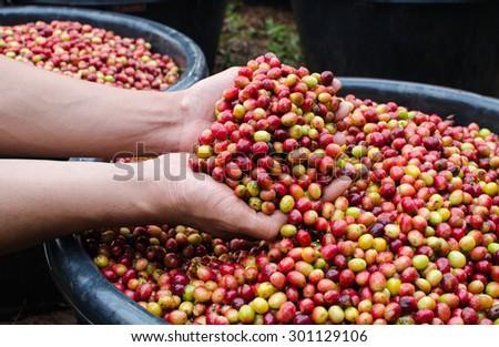 arabica coffee berries - stock photo