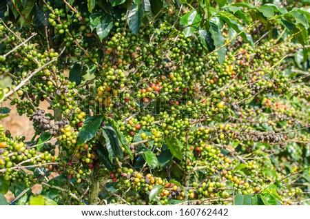 Arabica coffee tree with ripe berries on farm. - stock photo