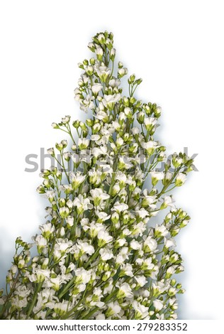 Arabis caucasica (Brassicaceae) or rock cress. Romantic beautiful garland with small soft terry pale milky wildflowers isolated on white backdrop with clipping masks. View close-up with space for text - stock photo