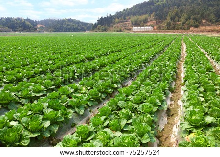 Arable farmland with fresh Chinese cabbage at spring in Fujian,China