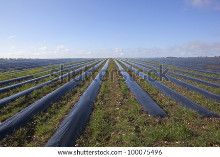 arable landscape with blue sky reflected in rows of protective polythene mulch converging toward the horizon - stock photo
