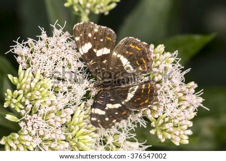 Araschnia levana, The Map Butterfly on Hemp-agrimony, Eupatorium cannabinum - stock photo