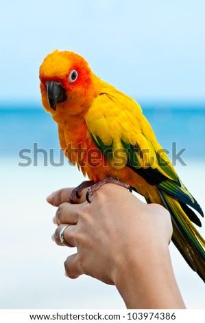 Aratinga solstitialis bird in your hand. - stock photo