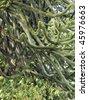 Araucaria araucana (Monkey-puzzle) tree branches - stock photo