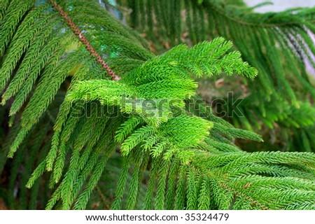 Araucaria Branches - stock photo