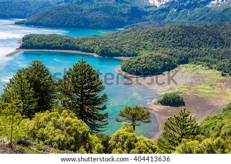 Araucaria forest in Conguillio National Park, Chile - stock photo