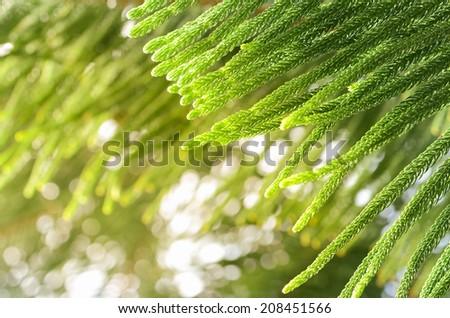 Araucaria heterophylla - Norfolk Island Pine macro ,Nature background - stock photo