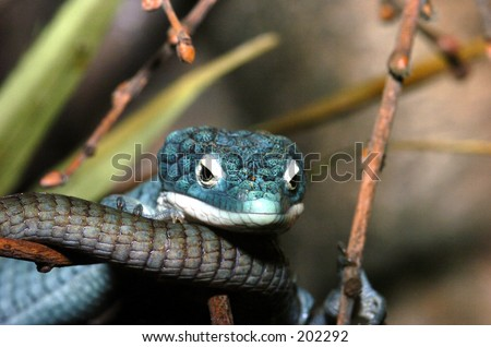 Arboreal Alligator Lizard - stock photo
